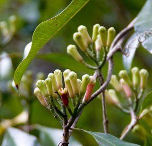 púčiky kvetov stromu klinčekovca voňavého